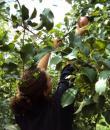 Συγκομιδή μήλου